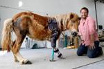 小马被妈妈踩踏前腿落残疾 装义肢获新生(组图)
