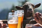 户外餐馆里的山羊