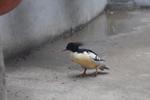 放生前一天 中华秋沙鸭在自贡野生动物救护中心死亡