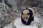 红外相机在四川马边拍到野生大熊猫