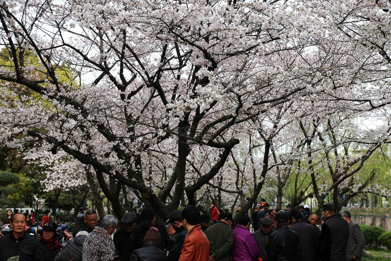 海曙公园的樱花开啦