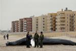 美国纽约:座头鲸搁浅海滩