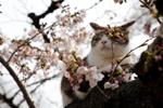 """日本东京樱花盛放 猫咪""""陶醉""""春光成风景"""
