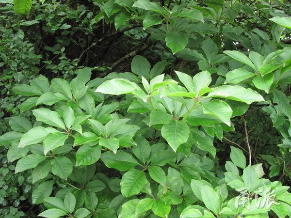 目前,宁波境内在宁波林场余姚黄海田林区已发现有华顶杜鹃的一个分布点,但数量较少,这次商量岗林区是第二处分布点,但种群数量比余姚点多出几倍,非常难得。   据新近出版的《宁波珍稀植物》一书介绍:华顶杜鹃因其树皮形态、芽和花序的类型、果实形状、种子大小等在杜鹃花属落叶种类中颇为特殊,在系统发育研究上有重要价值。   华顶杜鹃在宁波境内新发现的植物类群中属于重量级的物种,无比珍贵。希望当地有关部门能高度重视这一宝贵的自然资源,保护好这100多棵美丽的杜鹃花树。   甬派客户端主持嘉宾 林海伦