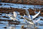 新疆哈巴河县湿地引天鹅栖息