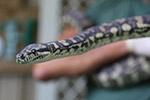澳大利亚蟒蛇染上毒瘾 进监狱戒毒
