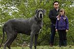 英国最大的狗!犬身长2米高1米与小象同重