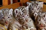 奥地利白色动物园迎来白虎四胞胎 萌化人心