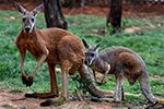 澳大利亚大袋鼠亮相昆明