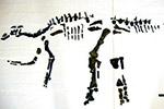 北海道发现日本最大恐龙全身骨骼 或属新物种
