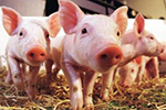 猪器官移植给人非天方夜谭 两者生理学指标接近