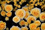 花艺界奥斯卡――切尔西花展举行 各式花朵美翻