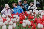 加拿大郁金香节迎赏花高潮