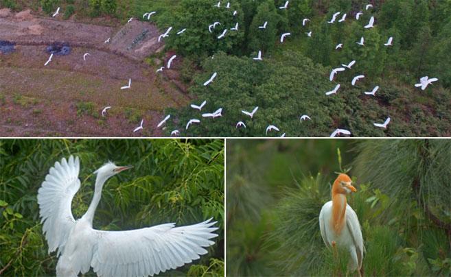 金华兰溪成鹭鸟天堂 美丽白鹭勾画田园美景