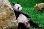 """中国大熊猫""""武雯""""、""""星雅""""与荷兰公众正式见面"""