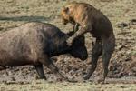 命悬一线!狮子险被水牛刺穿心脏瞬间