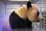 三只旅日大熊猫顺利返回家乡成都