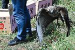 云南266头(只)野生动物被放归自然