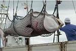 日本宣布今年西北太平洋科研捕鲸计划:捕杀304头