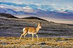 世界自然保护联盟建议:将可可西里列入世界遗产名录