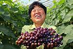 河北永清:冷棚葡萄成农民增收新亮点