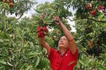 越南努力提高荔枝质量以增加对中国出口