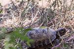 珍稀濒危物种四爪陆龟数量增至千只