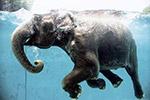 日本大象水中畅游嬉戏 悠然消夏