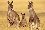 无人驾驶汽车进入澳大利亚 袋鼠成最大难题