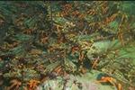 馋坏吃货!新西兰惠灵顿附近水域现巨量龙虾
