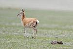 """在""""生命禁区""""迎接新生――直击藏羚羊产仔"""