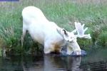 瑞典发现罕见的纯白驼鹿