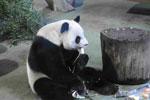 台北市动物园为团团圆圆过13岁生日