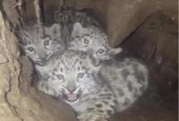 四川石渠发现三只雪豹幼崽