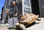 耄耋老太养百余斤乌龟 每日相伴散步