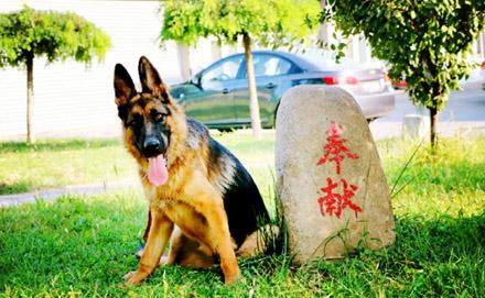 一只军犬的述职报告:我凭什么名震犬圈!