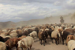 新疆天山西部牧民迎来大规模转场季
