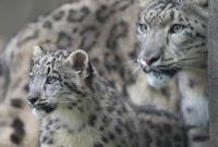 """""""降级""""大熊猫后 世界自然保护联盟宣布雪豹不再""""濒危"""""""