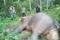 泰国一头20岁野生大象死亡 身上8处遭子弹击打(图)
