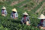 台州:又到秋茶采摘时