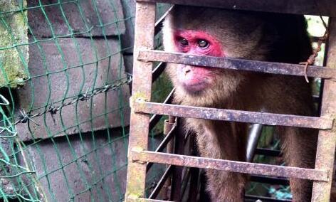 野生短尾猴被关8年 森警闻讯及时解救