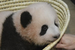 """日本出生的熊猫幼崽被命名为""""香香"""""""