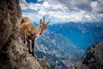 意大利最勇敢山羊悬崖峭壁上觅食