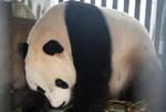 """大熊猫""""彩陶""""""""湖春""""抵达印度尼西亚"""