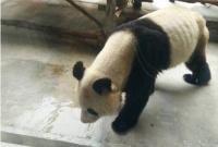 秦岭野生动物园大熊猫瘦成皮包骨 园方:得了牙病