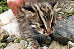 珍稀动物豹猫现身湖北