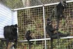 人工繁育黑叶猴全球首次放归广西大明山