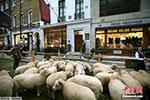 中国厂商订购优质羊毛遭掉包 澳大利亚一男子被捕