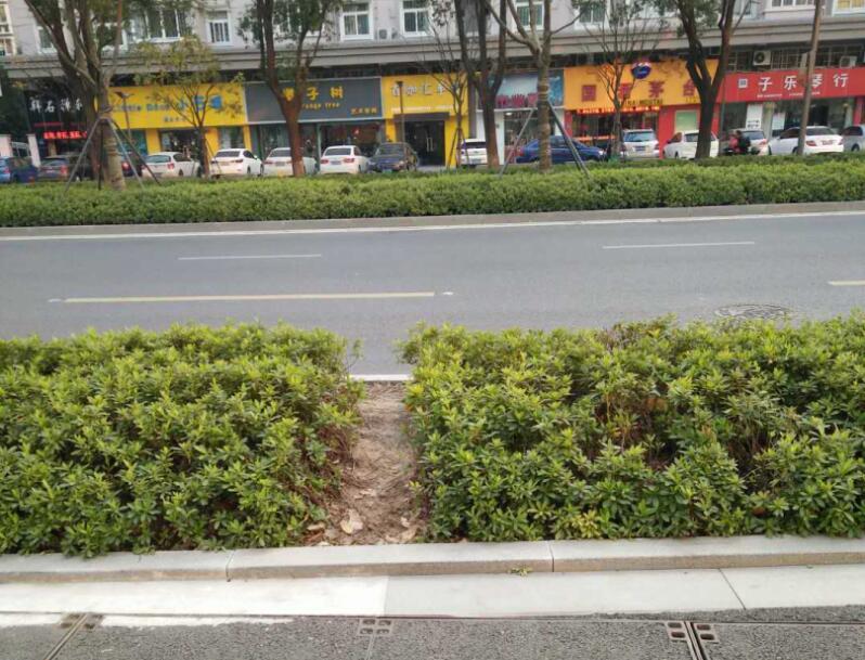 中山路花坛被踩出路