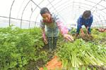 冬令蔬菜大批上市